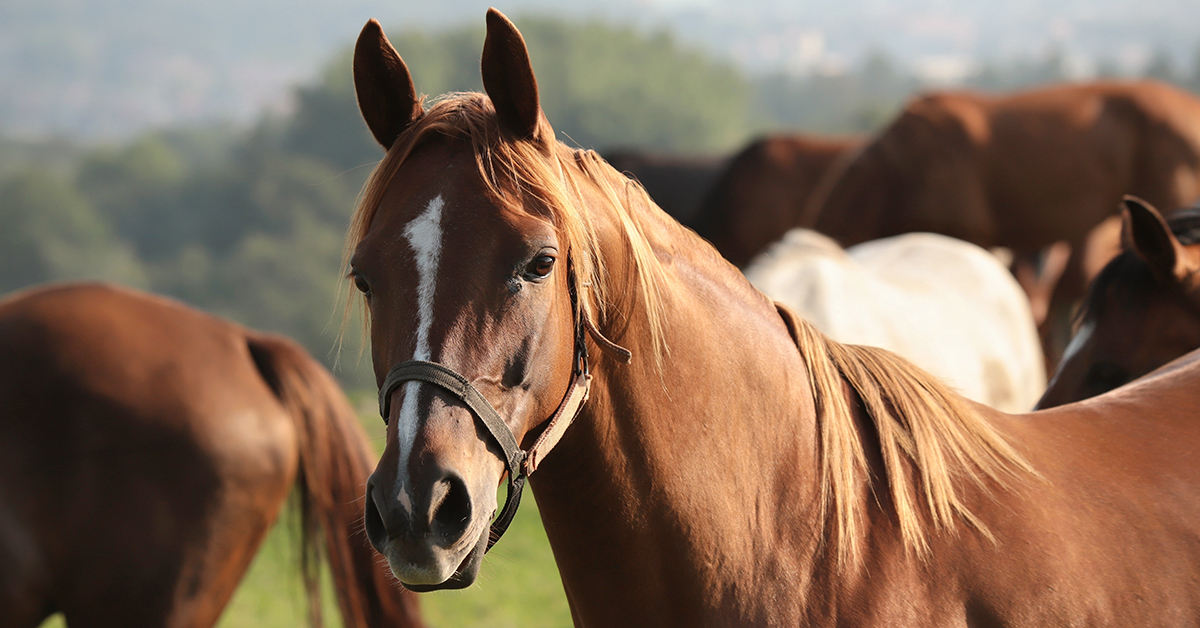 Tune into episode of 16 of our #podcast, Fresh Scoop, to discover what researchers have learned about a serious and increasingly common disease of #horses, equine metabolic syndrome. http://bit.ly/maf-episode16 pic.twitter.com/AbXlrMt9ch