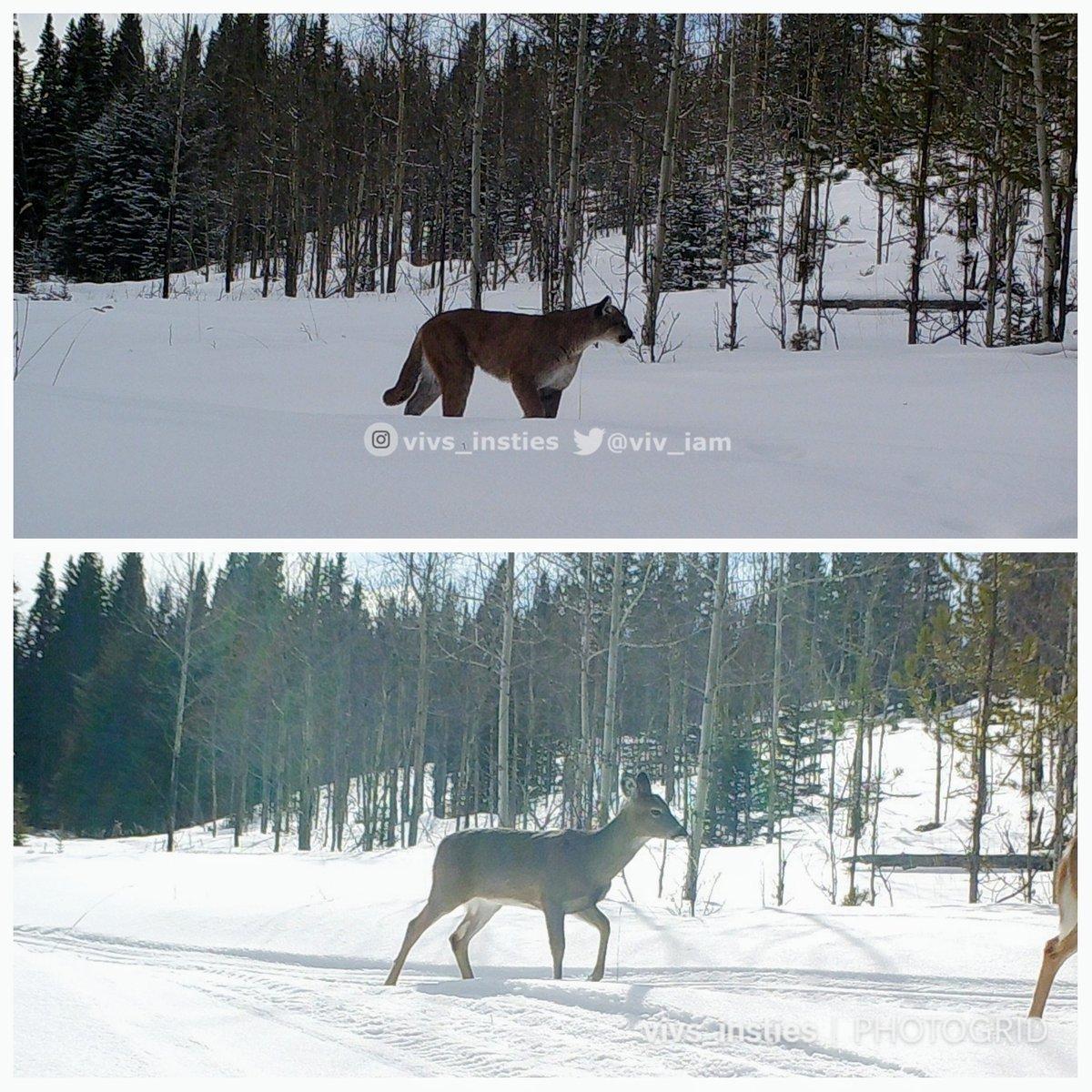 Good size comparison between predator and prey right here. #cougar #whitetaileddeer #wildlife #naturelovers
