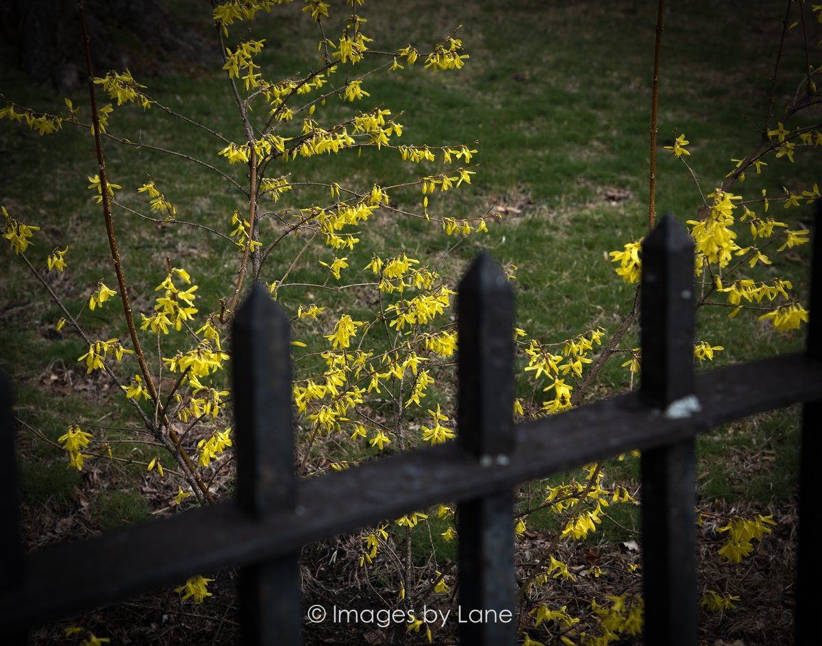 "New photo! ""fenced in yellow flower"" Location: Concord MA Shot this afternoon  Images by Lane: http://www.imagesbylane.com   #fencedinyellowflower #floral #fencing #yellowflower #tintedphotography #originalphotography #photoart #ImagesbyLane #NewEngland #ConcordMA #NikonD810 pic.twitter.com/rTLjm6WQ5S"