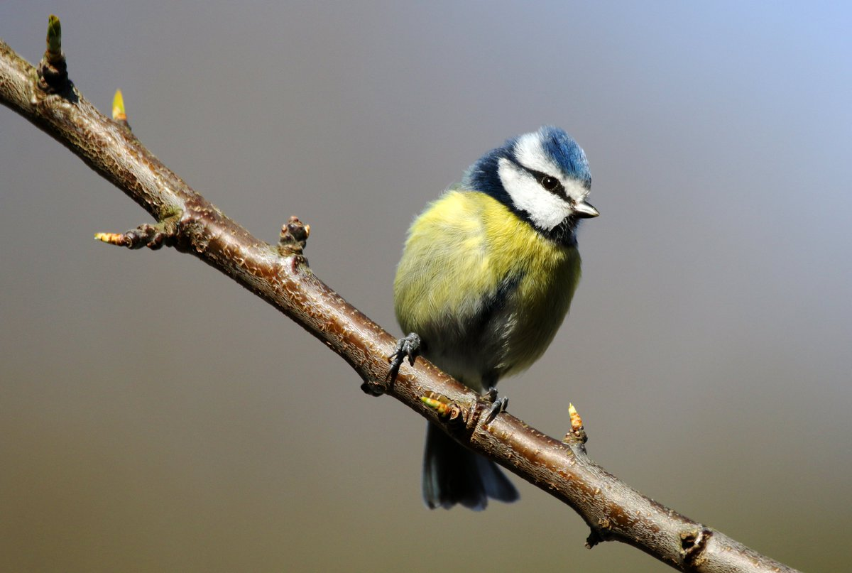 Blue Tit in my garden, Isle of Man. #Springwatch #photooftheday pic.twitter.com/fXDptvHpW9