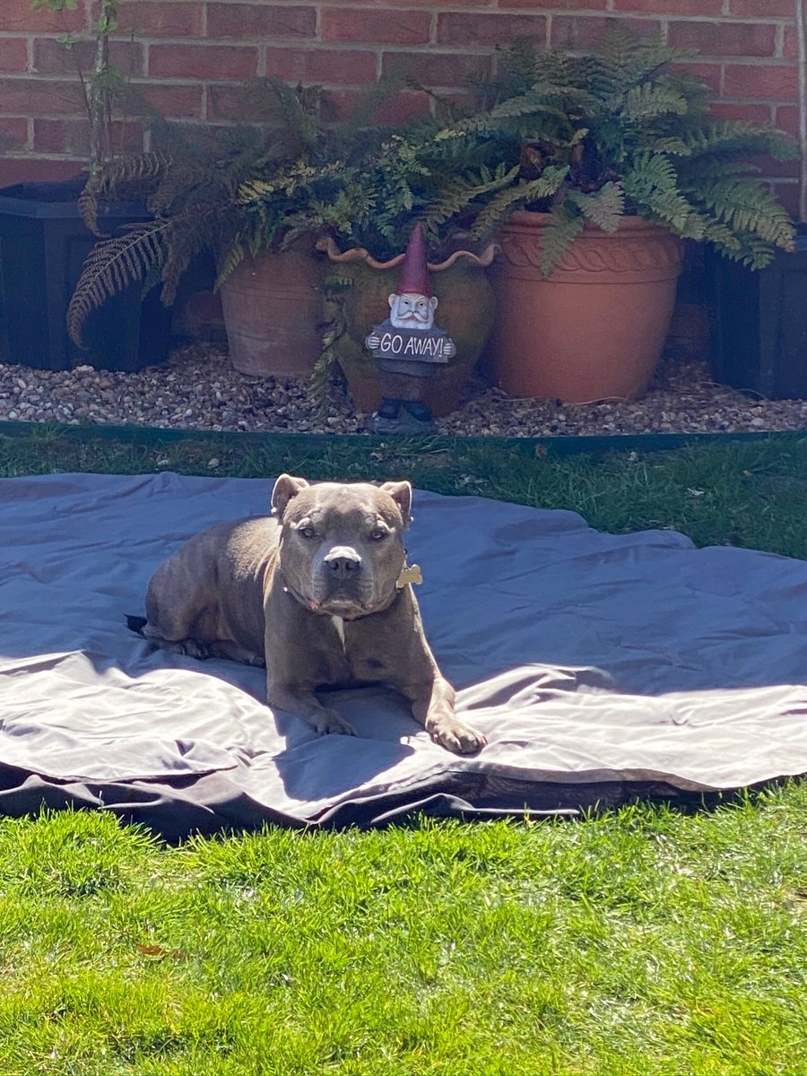 What do you mean 'you didn't put this out for me? Who else is there? #doyouknowwhoIam #VIPdog #wonderdog #wheresyours? #getyourown #staffordshirebullterrier #doginthegarden #sunbathingdog #staffie #handsomedog pic.twitter.com/orW7Kn6QMb