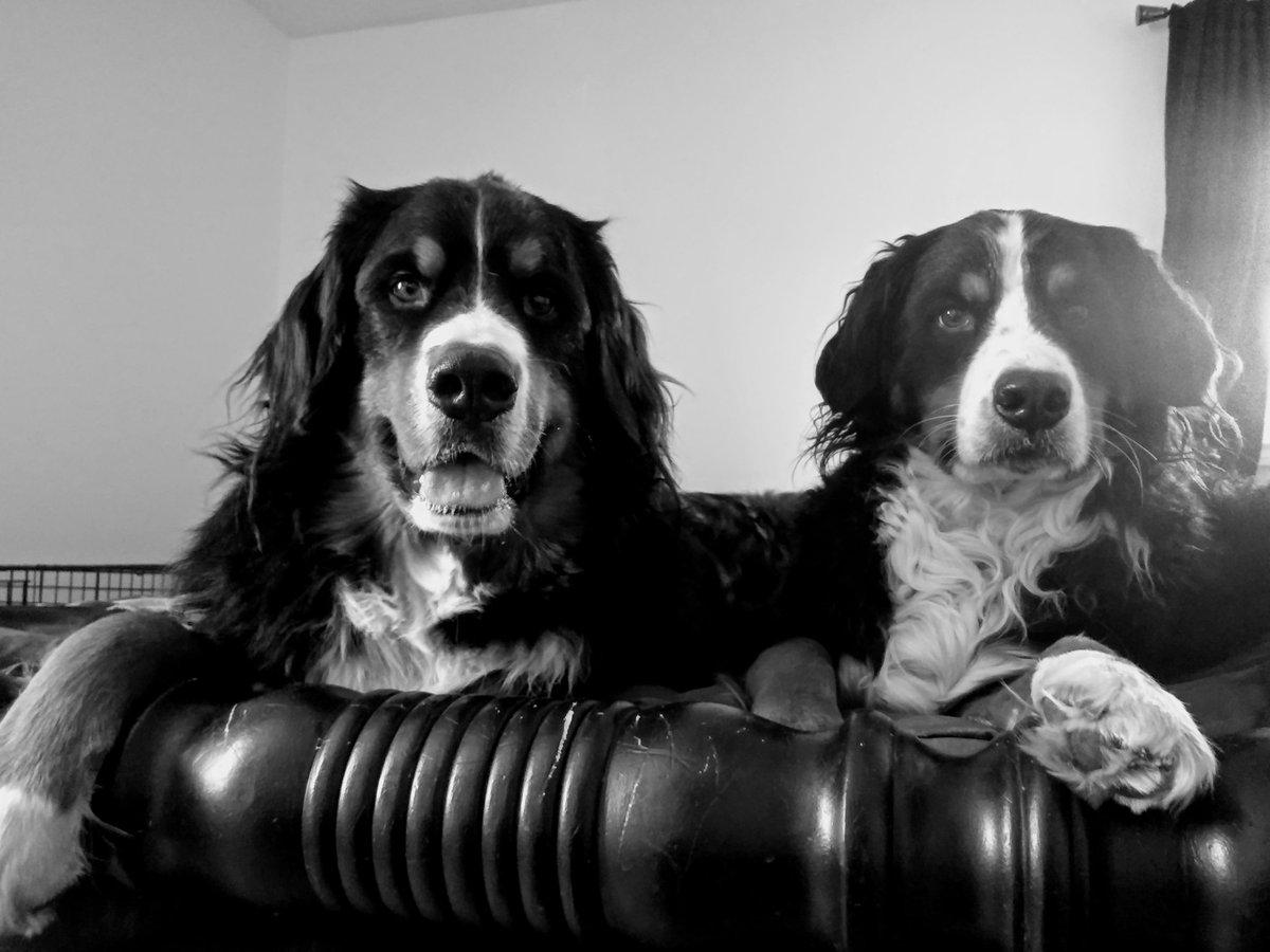 Mac and Abby #bernesemountaindog #bernese #dog #dogs #sunday #PEI #Charlottetown #happy #DogsofTwittterpic.twitter.com/KEDrVZ1rPb