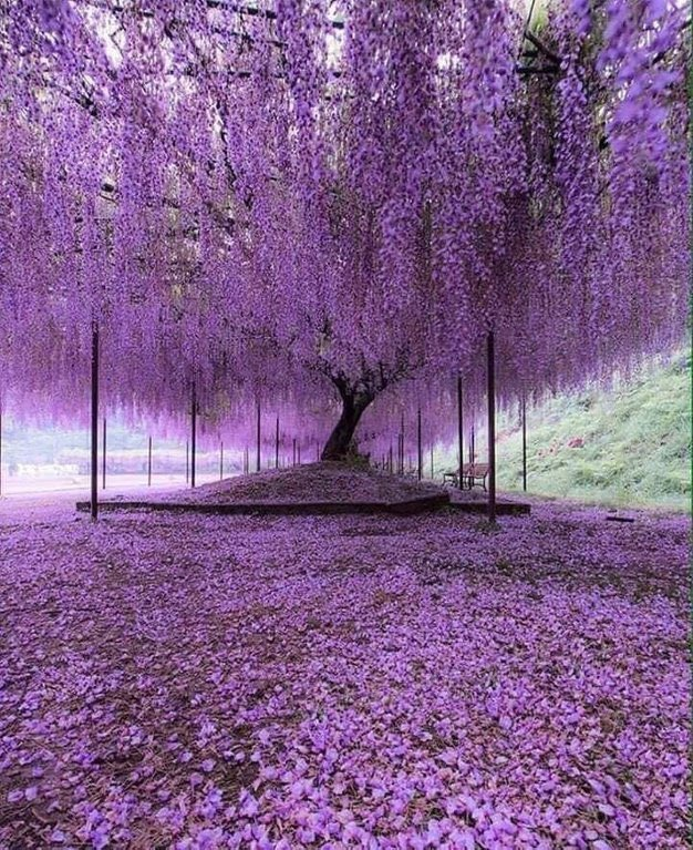 Purple Wisteria Trees in #Hyogo #Japan U: CrackheadAllmight pic.twitter.com/voYHzvvCDS