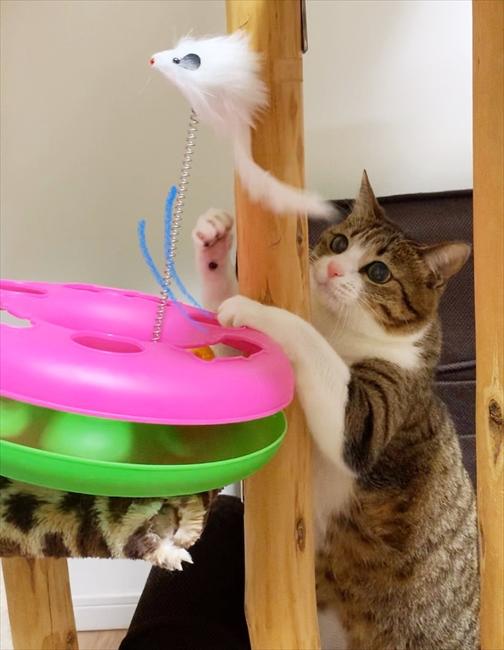 「プレゼントをもらったニャ」新しいオモチャに夢中なキジ白の猫・すずめちゃんとうなぎちゃん  @itm_nlabzoo