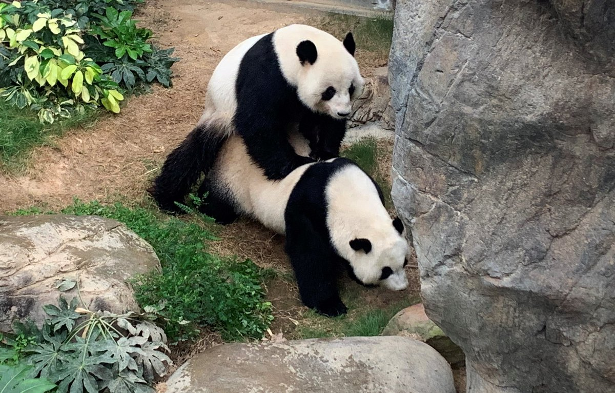 "Ocean Park says its resident giant pandas Ying Ying and Le Le have mated naturally for the first time since they started trying a decade ago.  Executive director Michael Boos says it's ""extremely exciting"" as there's a higher chance of pregnancy.  Photo courtesy of Ocean Park"