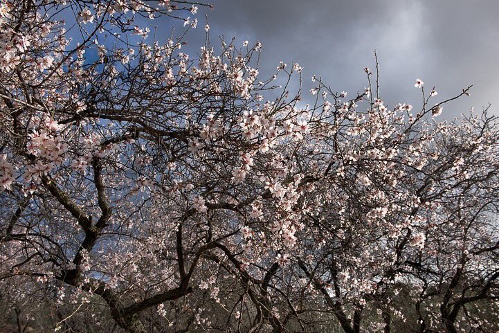 Light pierces through dark clouds illuminating almond blossom growing in the Andalusian hills. Let's all hope that this virus really has now passed it's peak in #Spain where, as in all countries, it has been so cruel. Photographed for the #book 'The Splendour of the Tree'.pic.twitter.com/gRDrJ6TVgW