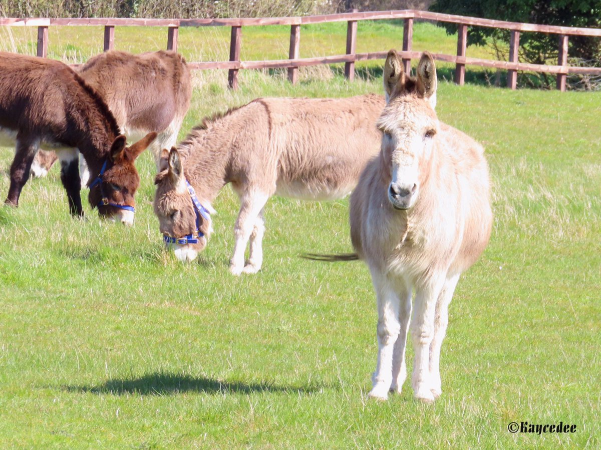 I knew they were there, but it's the first time I've seen them! Now, I'll be there all the time!  Donkeys on a social distancing walk!  #SocialDistancing #Covid_19 #coronavirus #donkeys #rural #countryside #walking #walk #animals #animalphotography #photo #photographypic.twitter.com/C1yhmx9f9s