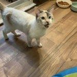 Image for the Tweet beginning: 【猫紹介】ルナちゃん(♀) よくいる場所…ブルーハウス1階(子猫の部屋) 薄めの三毛猫ちゃん。人は大好きでいっぱい甘えてくれますが、他の猫ちゃんとはなかなか仲良くなれないよう… #猫 #保護猫 #埼玉県 #秩父市