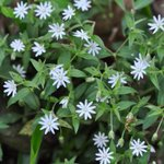 Image for the Tweet beginning: Unlike common chickweed, its non-native,