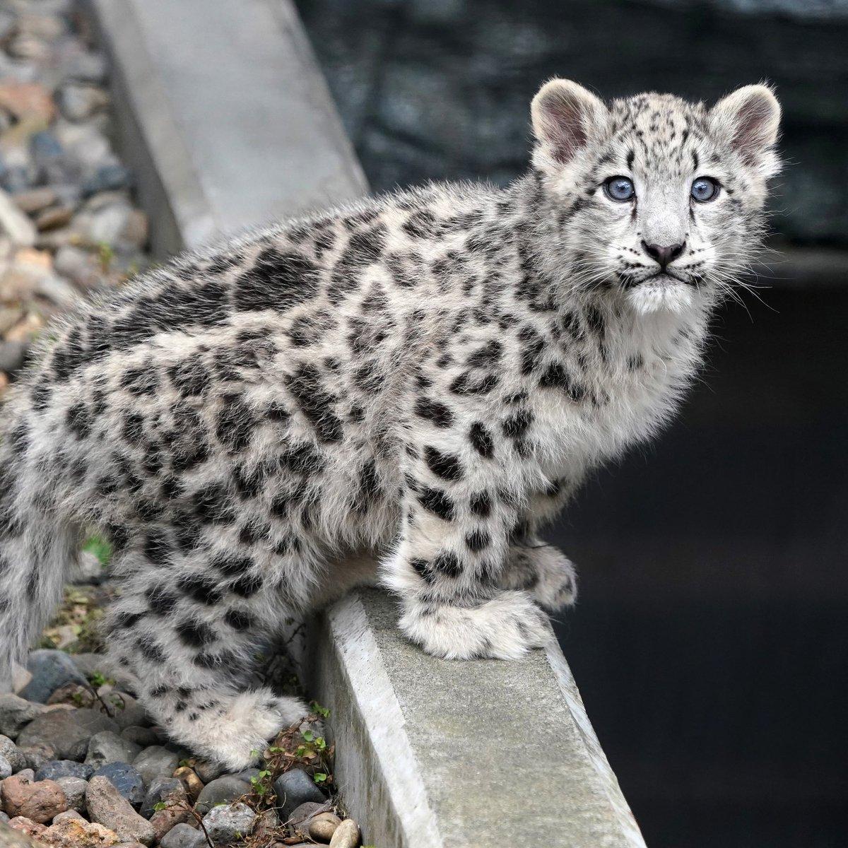 旭山動物園のユキヒョウのユーリちゃん。展示練習をしていた10月の頃の写真。整理して投稿しようと思っている間に、4月になってしまいました。この頃はまんま猫でした。 #ユキヒョウ #旭山動物園
