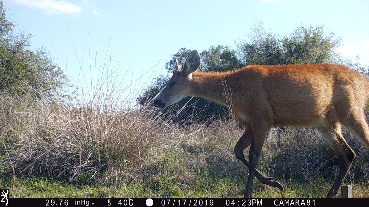 Marsh deer (Blastocerus dichotomus), the biggest native #deer species in South America. #cameratrapquarantine #Argentina pic.twitter.com/QKoO5Pb4jv