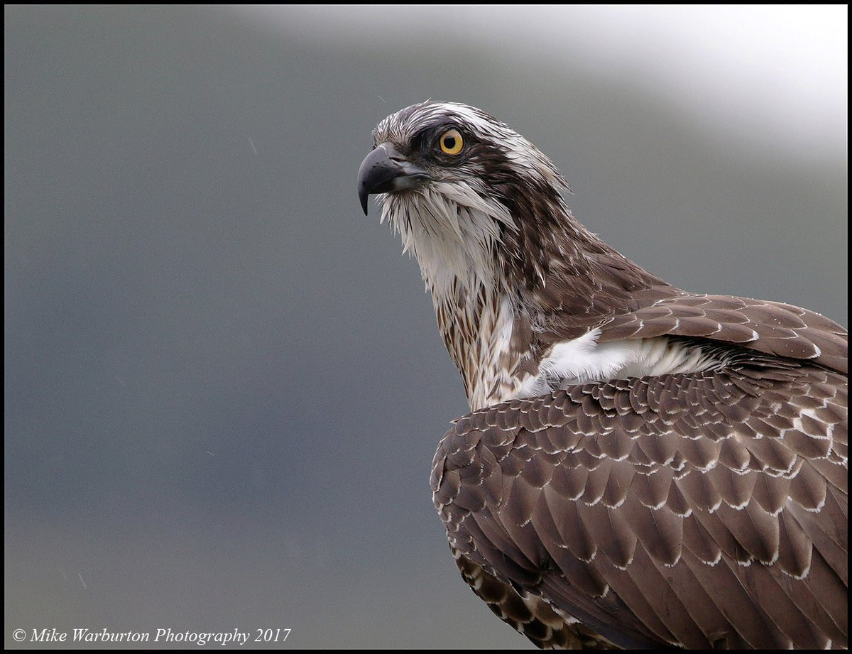 Had my first #Osprey sighting of the year the other day. Image is a heavy crop taken in 2017 from a hide I made on a Welsh lake. #Wales #birds #wildlife #nature #lake #water #raptor #fishhawk @CanonUKandIE @SigmaImagingUK @BBCEarth @BBCSpringwatch @NatGeo @RSPBCymru @BTO_Cymrupic.twitter.com/9n8ZSPPoyj