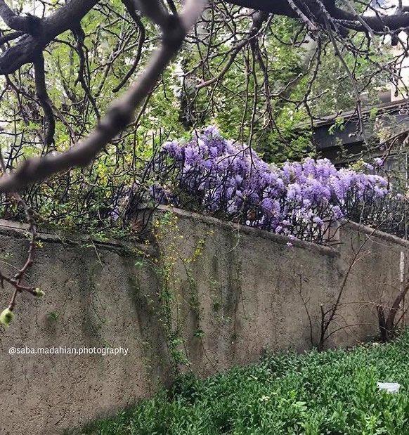 Two cities in bloom, #Tehran with #wisteria, & #London with #camelia. Images via #HerNameWasCharlie and #SabaMadahianPhotography. #spring #lifestyle #sakura #Fulham #LoveLondon #LoveIRANpic.twitter.com/t38QWm7eGI