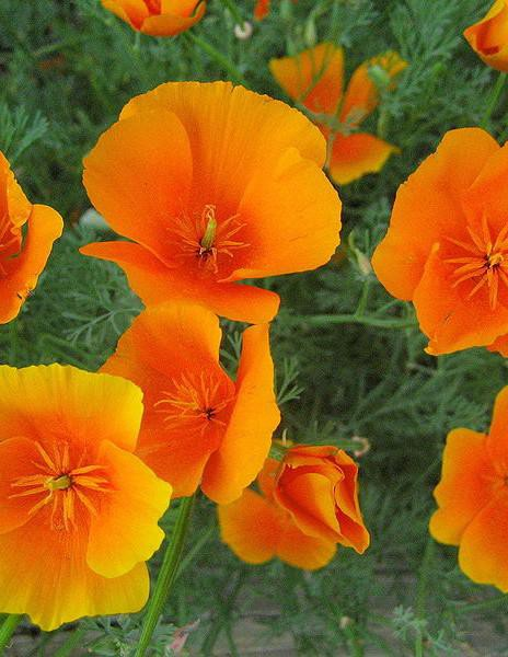 Did you know today is California Poppy Day?    #inbloomgroup #inbloom #farmfreshflowers #farmdirectflowers #farmfresh #farmdirect #blooms #bloom #flowers #flower #freshflowers ##californiapoppydaypic.twitter.com/YI2ldLQVTm