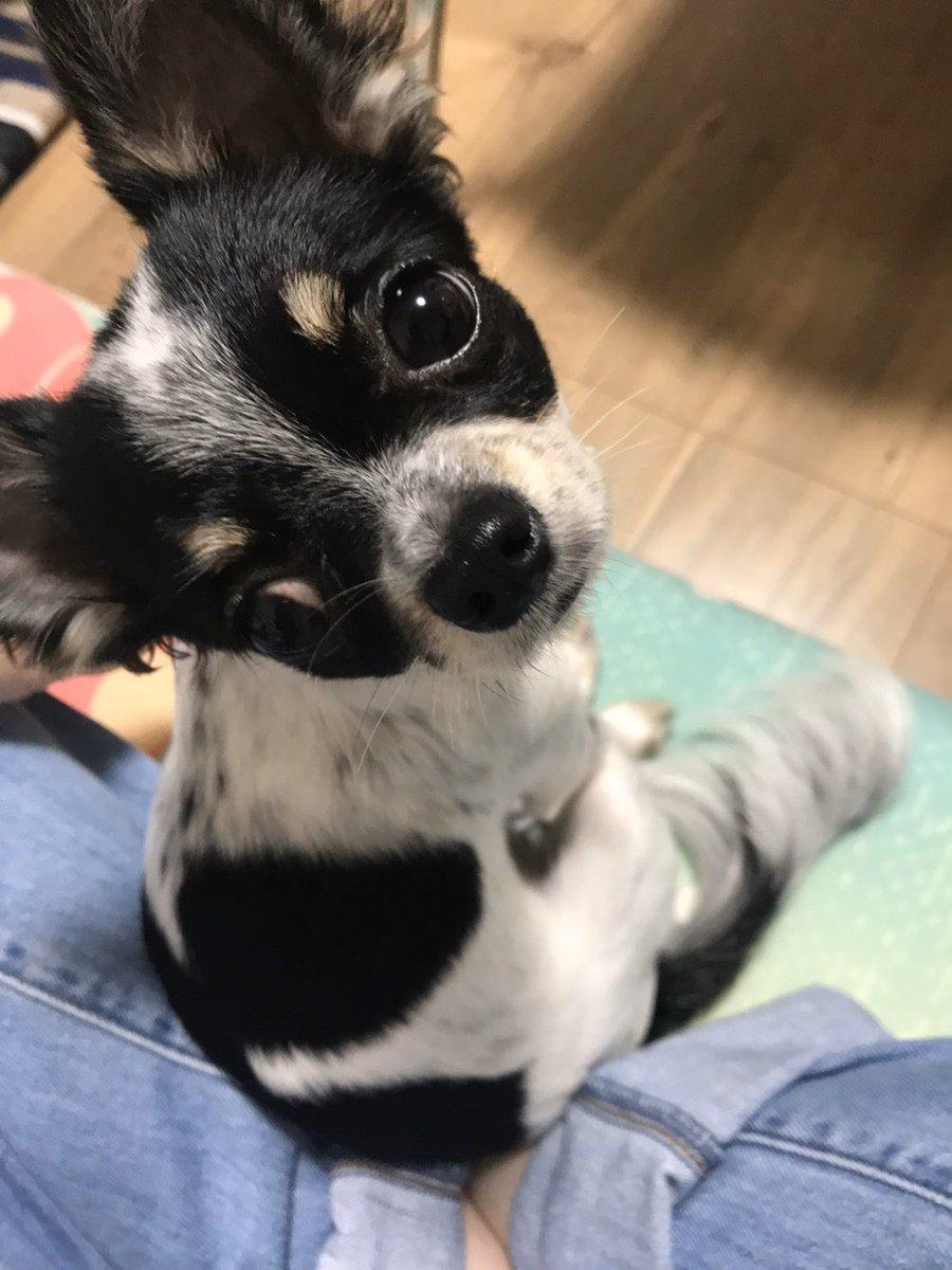 おはようございます ゆず地方は、朝から 本日も宜しくお願い致します  #チワワ #犬好きな人と繋がりたい  #犬のいる生活pic.twitter.com/9osqV2BDpH