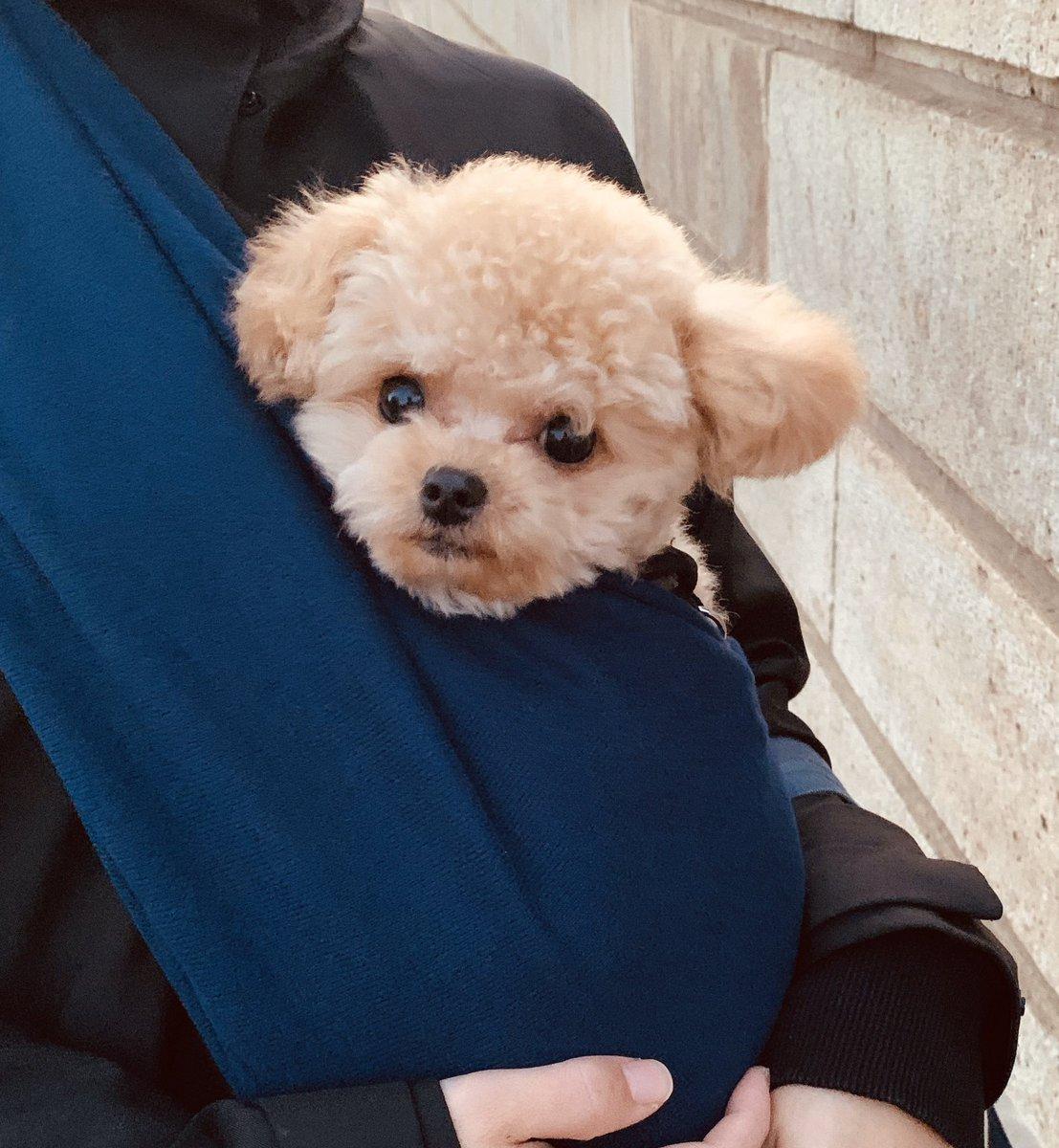 一緒にくっついて お出かけしたい年頃  #ポメプー #ミックス犬 #ふわちゃん #犬好きな人と繋がりたい pic.twitter.com/FfhEpG6ehF