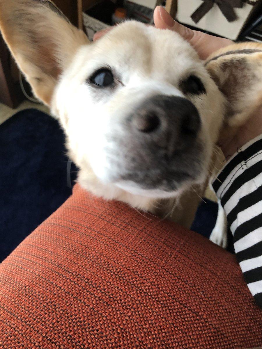 Happybirthday!!! 19才になりました。 認知症が始まって介護は大変だけど… もう少し一緒にいたいな。  #老犬介護 #19才 #シニア犬 pic.twitter.com/D1OQW5kZHh