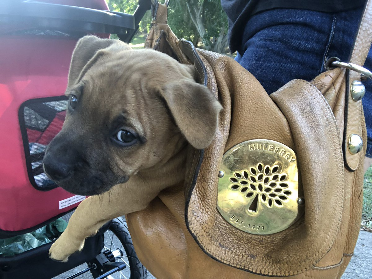 This seven week old pup came home Saturday and enjoys walks from the view of my old @MulberryEngland bag very much. cc @darth #australia #staffypic.twitter.com/QS2zQPW8fe