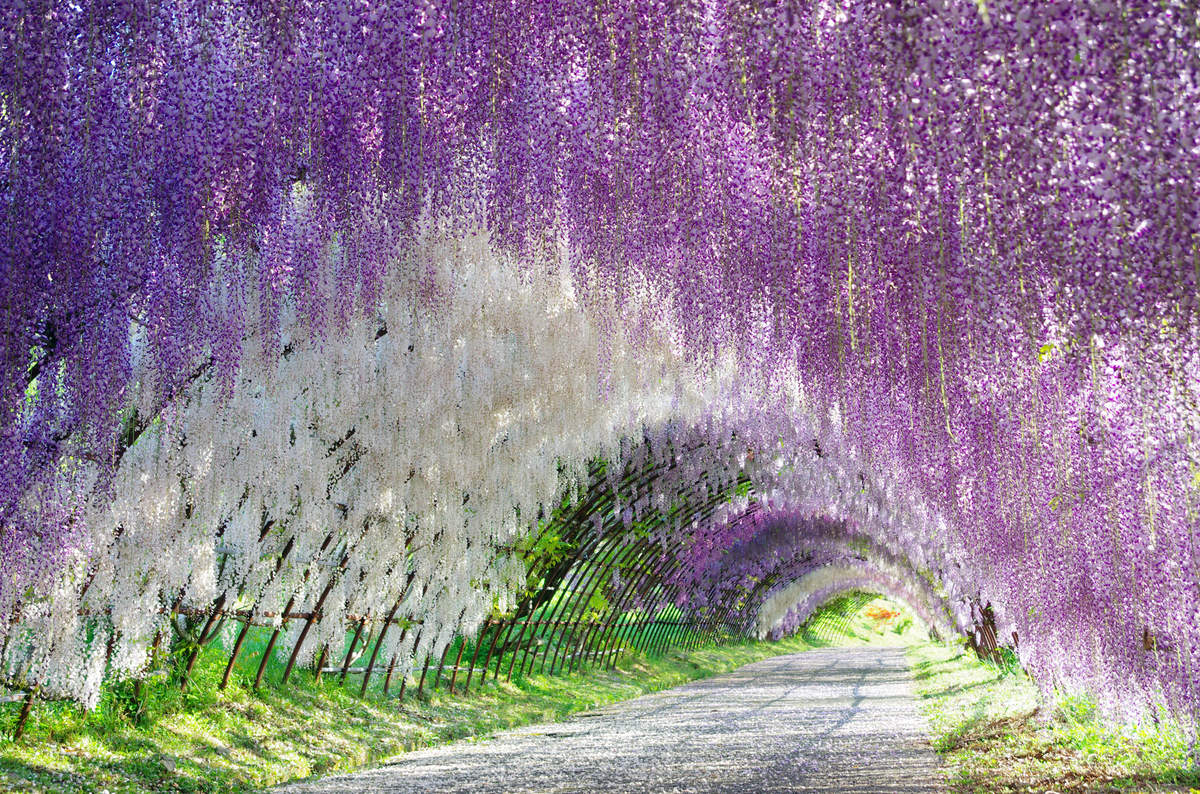 These are Wisteria flowers. The vines are woven through a massive trellis that forms this tunnel in Japan. #BeautifulPlaces #InstaMood pic.twitter.com/noQJHhSEeA