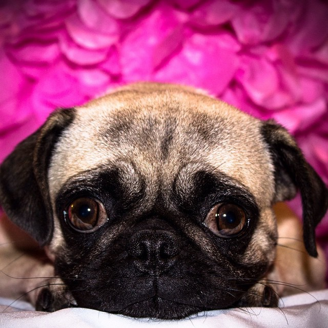 Pugs were popular at European courts, and reportedly become the official dog of the House of Orange in 1572 after a Pug named Pompey saved the life of the Prince of Orange by alerting him to the approach of assassins #naturelovers #fact #animales pic.twitter.com/16ww4XBF5H
