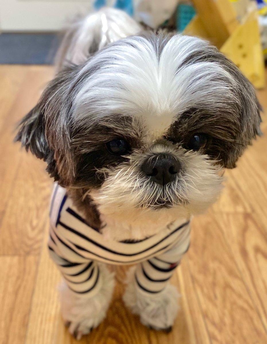 仕事終わった?  早く帰りましょ  皆さん、 今日もお疲れ様でした。  #犬 #dog #shihtzu #シーズー  #ふわもこ部 #いぬのいる暮らし pic.twitter.com/iDYeQDnaHO