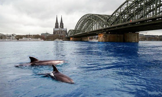 The Rhine in #Cologne hasn't seen this clear water for a long time. Dolphins showing up too. Nature just hit the reset button on us. #COVID19 #Koeln pic.twitter.com/720XZRJXEL