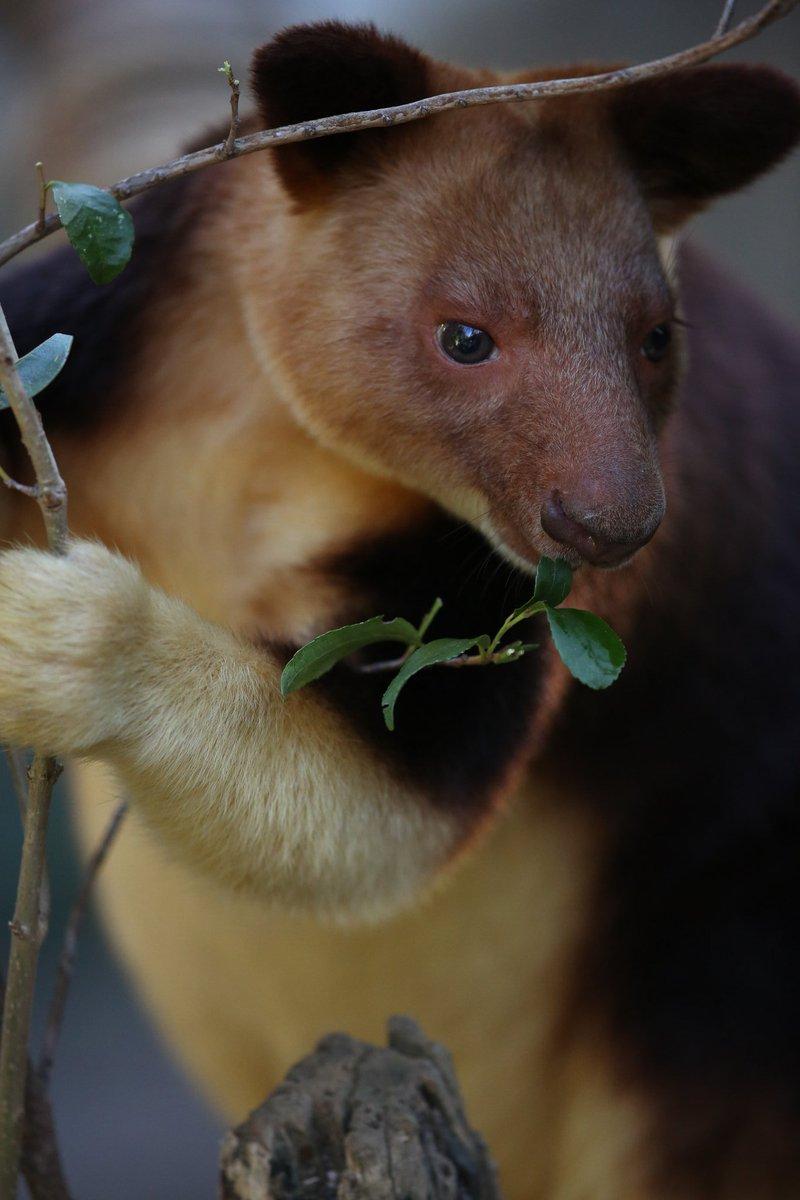 出勤で私鉄とJRを使うのだけど、どちらも全車両窓を開け始めた。それだけヤバくなってきたのだろう…コロナストレスを溜めないようにしないと。お疲れさまでした #絶滅から動物を守る  #動物園写真家  #動物写真  #ズーラシア  #セスジキノボリカンガルーpic.twitter.com/hBSM2JXCFI
