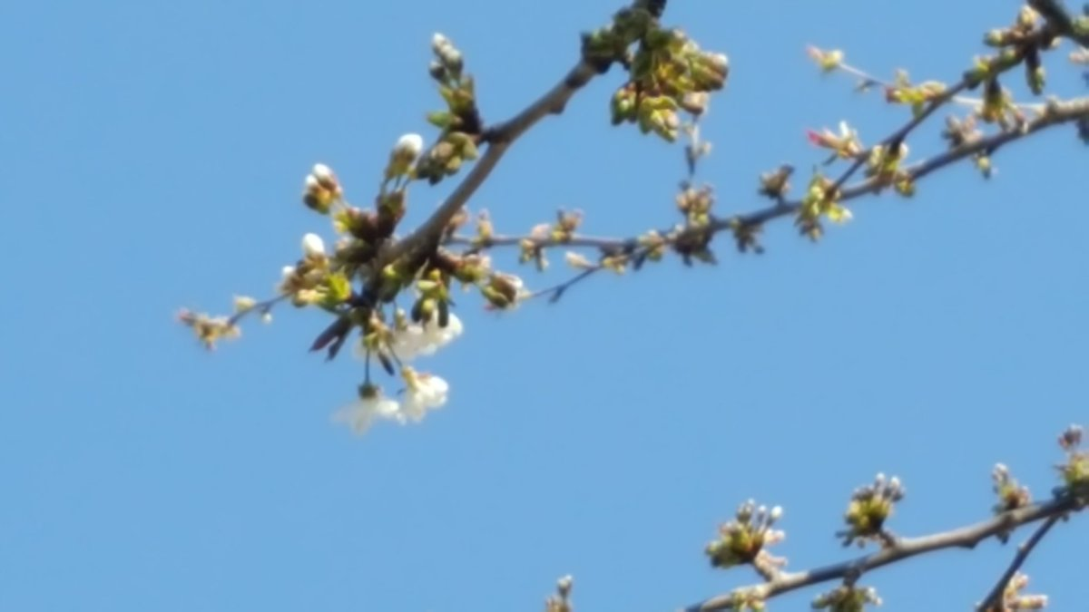 First cherry blossom.Might even get some of the fruit ahead of the birds this year