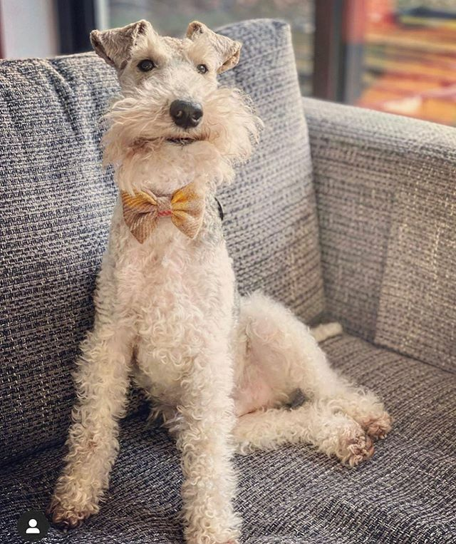 OMG how happy does gorgeous Frank look in his bow tie?! #spreadingcheer #happychappy #handsomedog #cheesing https://ift.tt/2JiFqrC pic.twitter.com/nzyv4pbhAc