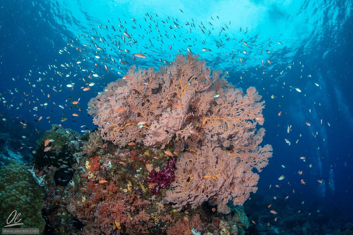 Coral life  Living colors of Raja Ampat's reefs.  #UnderwaterPhotography #Indonesia #RajaAmpat #WideWIdeWidepic.twitter.com/uo5isGFpzN
