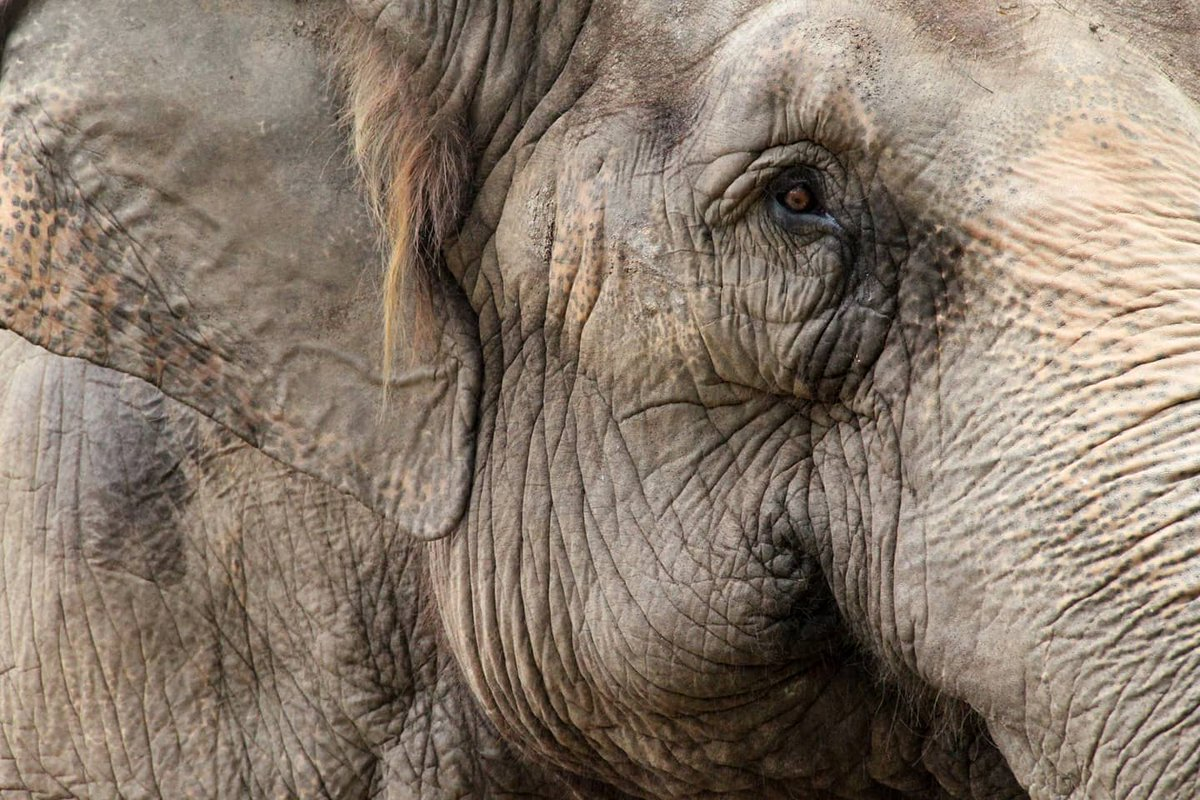 experience is the only road leading to satori, the forlorn rags of growing old is given, look deep for every wrinkle has a story. #saveanimals #animals #savetheplanet #saveelephants #nature #wildlife #loveanimals #animalrights #adoptdontshop #elephant #animallovers #savenaturepic.twitter.com/PxiGxJcnWG