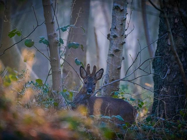 Glorious colours and light first thing this morning for my #sanitystroll ... Also found a good spot for photographing deer #deer #roedeer #ryedale #northyorkshire #malton  #nature #mammal #wildlife #earthpix #photoarena_nature #naturephotoportal#marvelshots #naturelovers …pic.twitter.com/1yP1CbodE7
