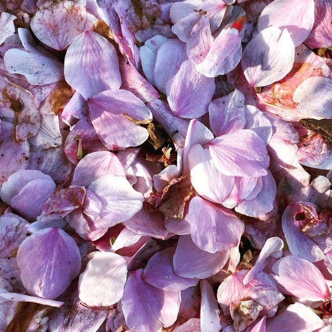 의 미디어: RT @mdinwsnc: Cherry petals #seenonmyrun. #optoutside #runnerbliss #wsnc #savingmysanity https://t.