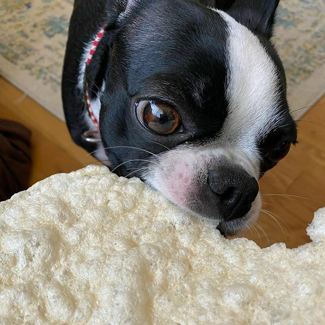 Nene-chan likes rice puffs! #bostonterrier #dog #puppy #dogstagram #instadog #BostonTerriersForever #blackandwhite #littlemonster #lilmonsta #ボストンテリア #ボステリ #犬 #いぬ #子犬 #白黒 #鼻ぺちゃ #ポン菓子pic.twitter.com/e1vMfHEdrS