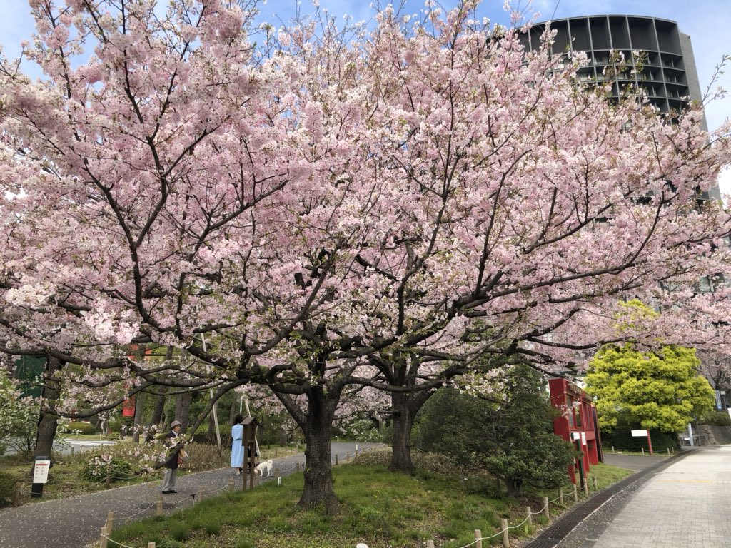 Sakura today - cloudy #tokyo #sakurapic.twitter.com/OMuPKBx2dh