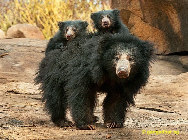 #AltMammalFact a group of Sloth Bears is called a Worsening #WorstBear #2020MMM
