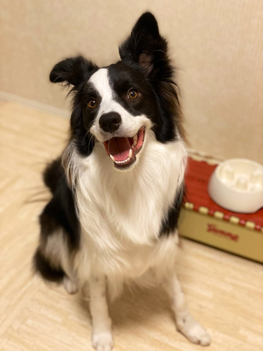 Good morning #犬 #ボーダーコリー #bordercollie  #dog #癒し #Goodmorning #朝ご飯pic.twitter.com/8mVpgpyub0
