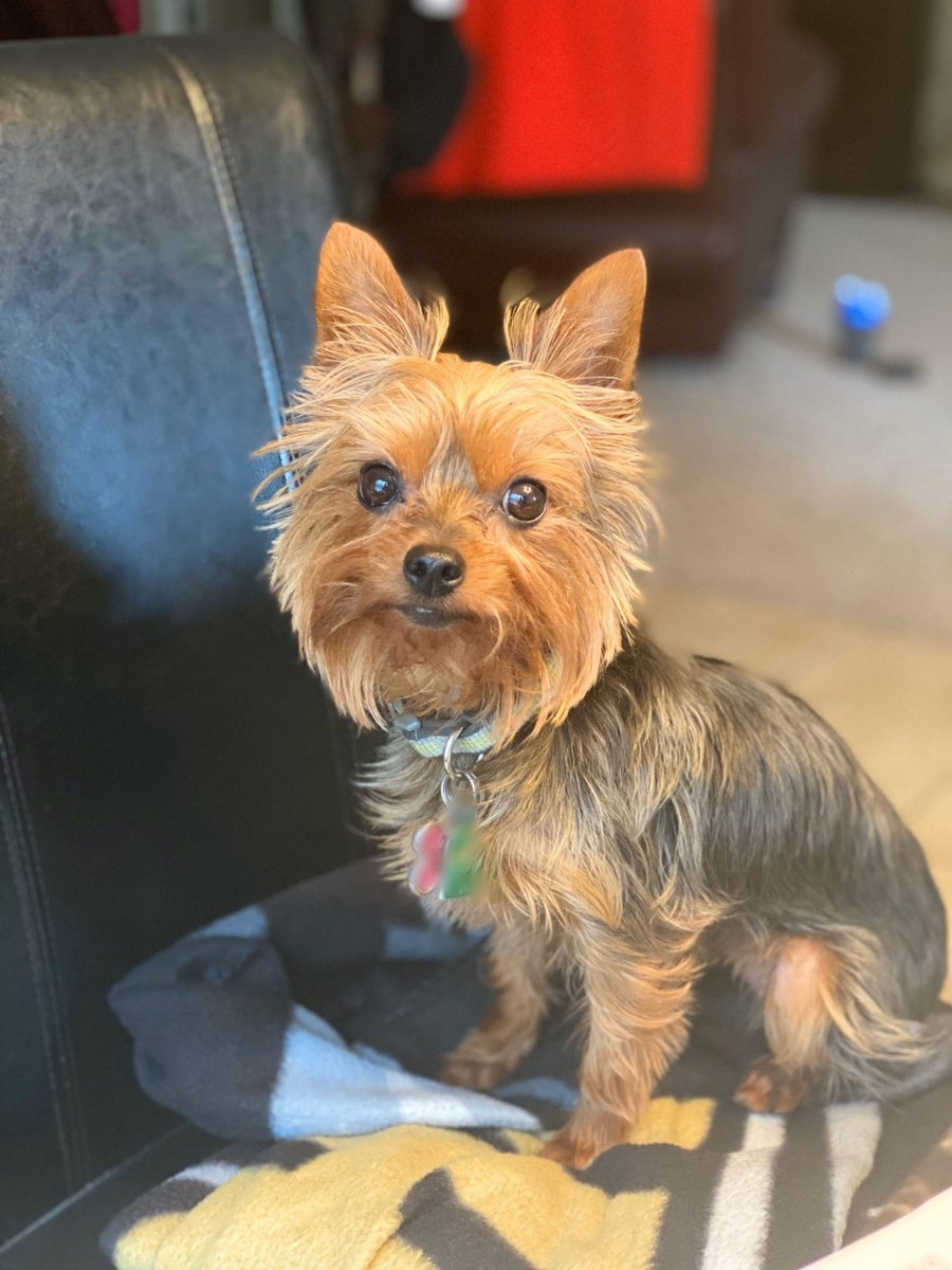 Donut gets a little fussy when I have to work at the table. I put a lil blanket on the cha...  #YorkshireTerrier http://UKDogOwner.co.uk/dog-breeds/Yorkshire-Terrier…pic.twitter.com/I5nLU9R7BX