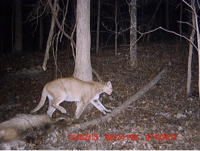 #CougarOrNot Is this a cougar? Or not? What do you think and why?