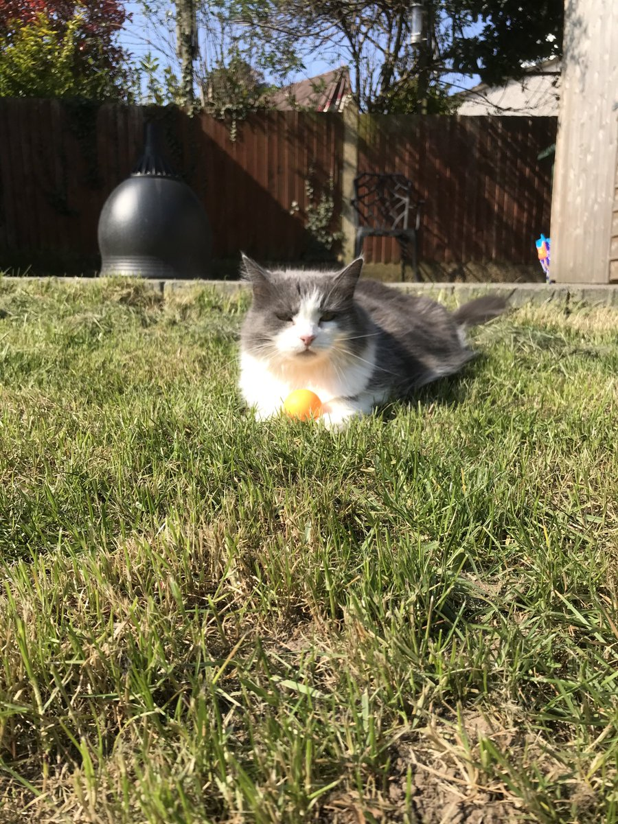 Yes! It is I! In the garden with my ping pong ball.   Anyone who tries to get it off me will need nerves of steel and a pair of gloves.  Bring it on. https://t.co/q6KXDMOBMD