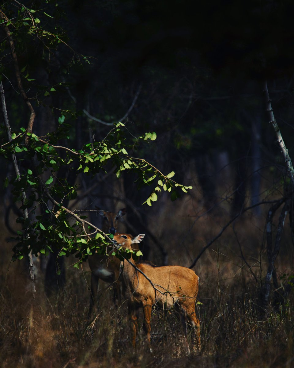 Breakfast at first light. A Blue Bull fawn and her mother shot at Pench, MP  #mptourism #incredibleindia #goldenlight #morning #wildlife_vision #wildlifephotographer #wildernessculture #wildlifeofindia #indianwildlife #instagood #indiaphotosociety #indiaphotography #bluebullpic.twitter.com/8LPvI7BuTM
