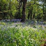 Image for the Tweet beginning: As bluebells start to emerge
