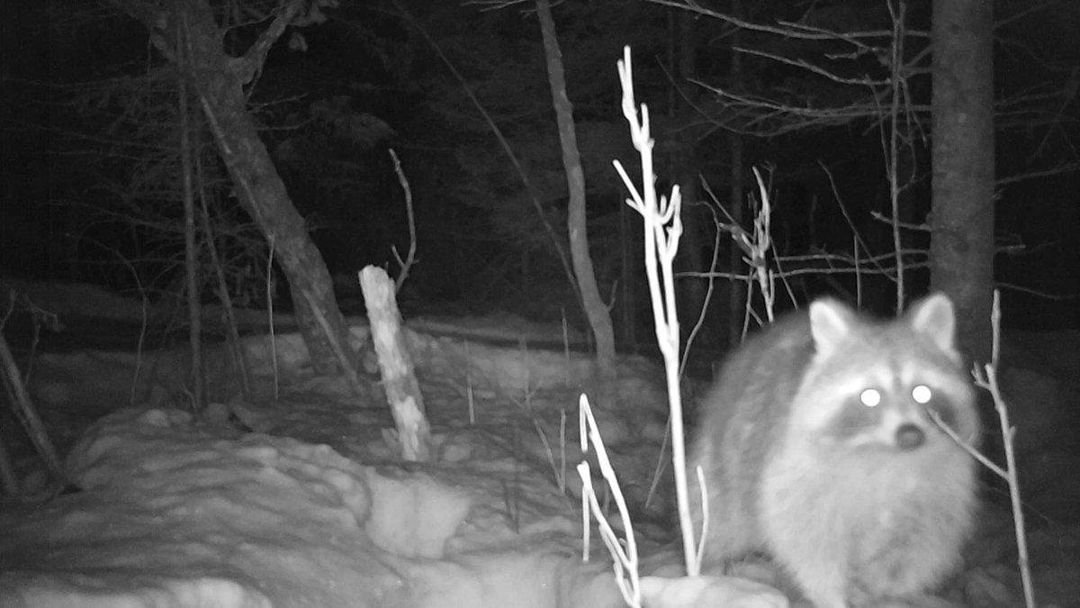 The Bandit  #UPofMichigan  #nature #wildlife #mothernature #winter #snow #trailcam #trailcamera #hunting #raccoonpic.twitter.com/VLgu40NkdA