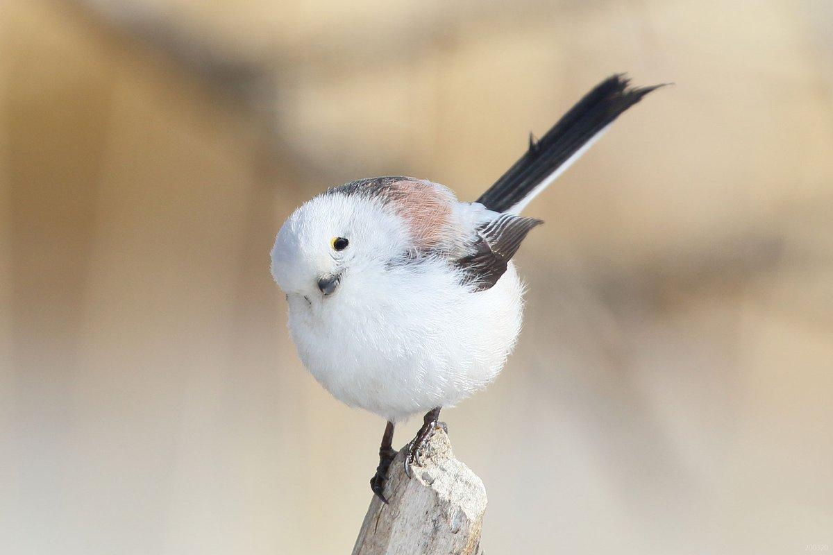 マメダイフク(豆大福、学名:metya mofumofu yanen)は、モチ目アンコ科マメダイフク属に分類される鳥類の一種。
