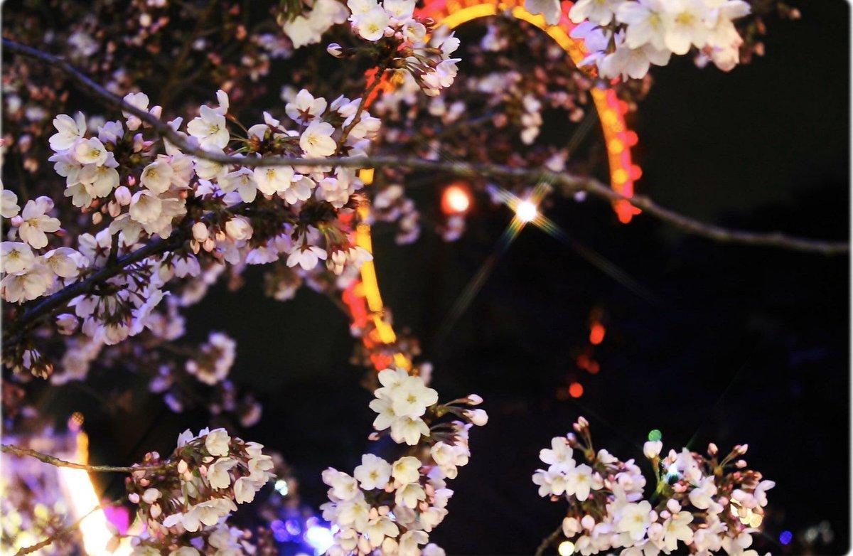 夜桜を見に行った先に観覧車があって撮った結構前の写真、ピンボケとかしてるのにお気に入りpic.twitter.com/jiveFtm5Mi