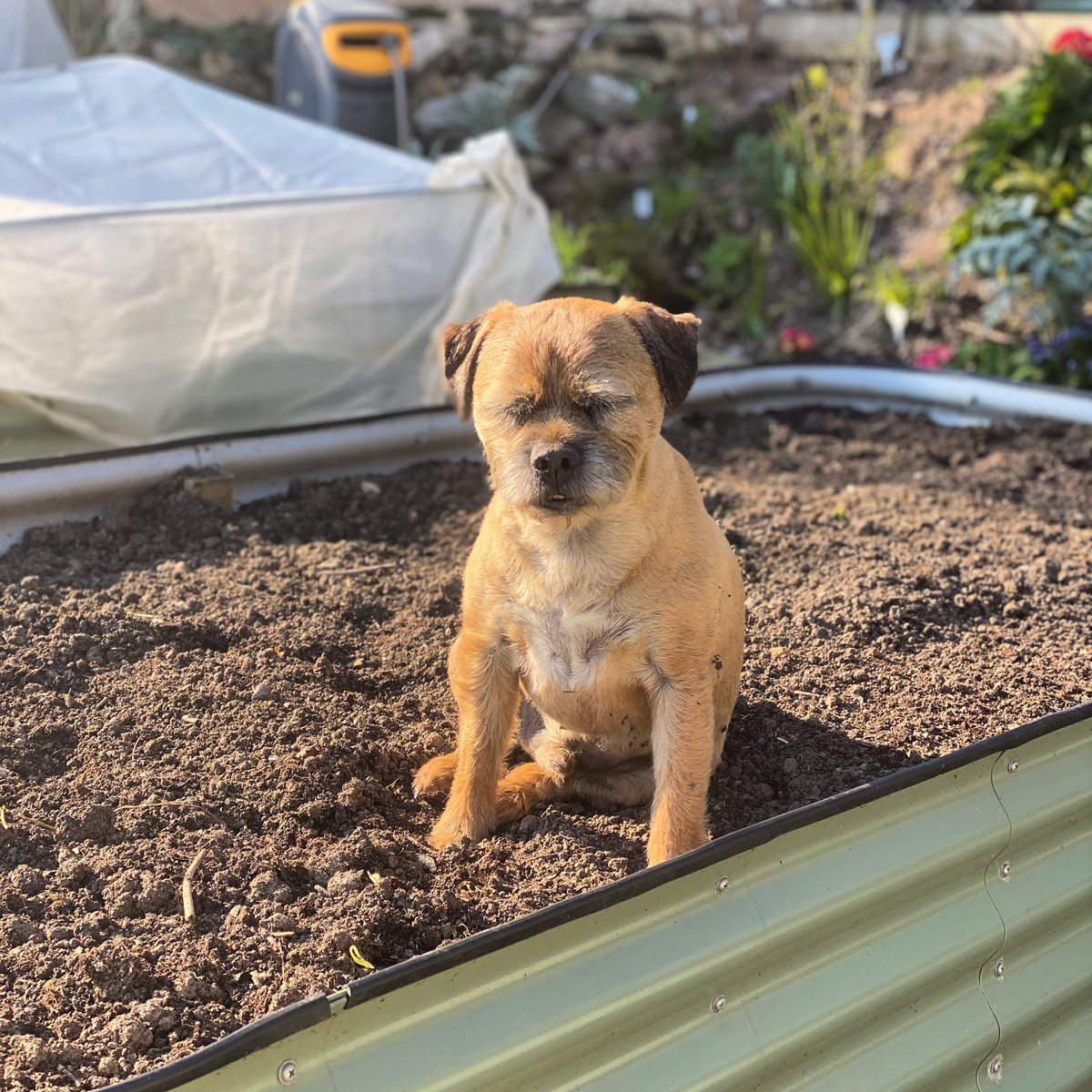 This dog is crackers! He actually fell asleep sitting up in the raised bed!!!  #btposse #dogs #dog #dogsofinstagrampic.twitter.com/yodNUs0mvG