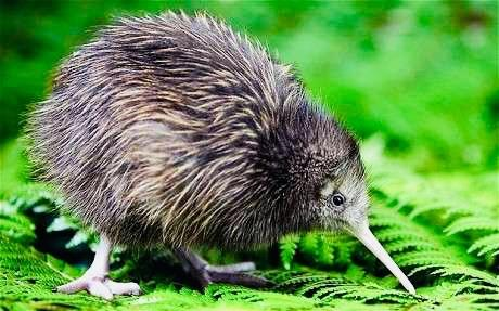 The only bird in the world with external nostrils at the tip of its long beak! The Kiwi! #nature #dailyfacts #animales pic.twitter.com/cEjBBlGjMz