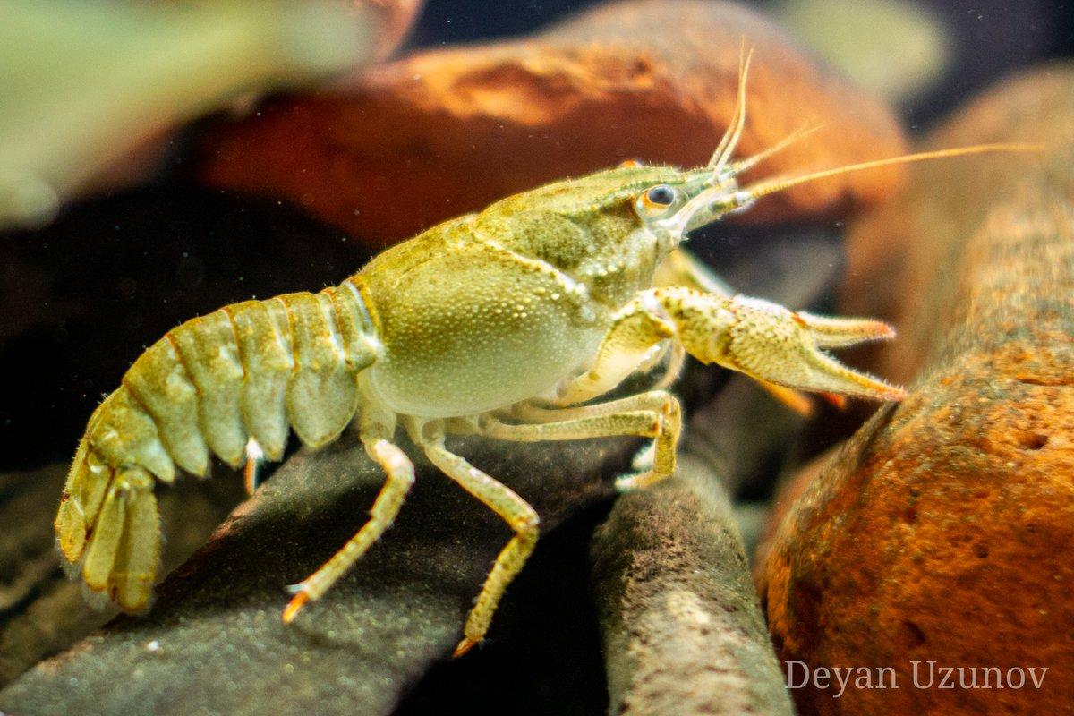 A Wild River Crab #crab #wildlife #riverpic.twitter.com/P8A9XCo2vw
