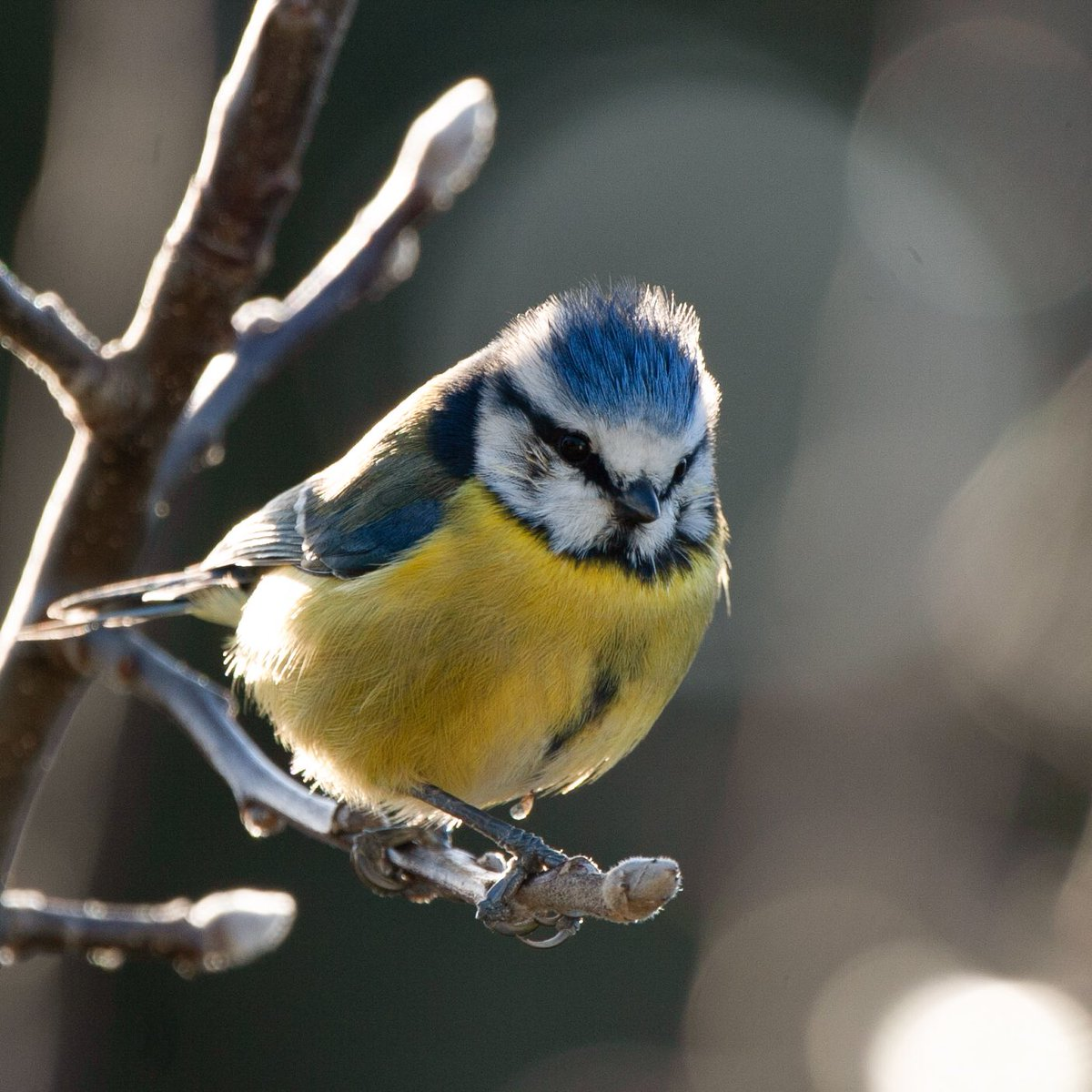 The happiest little blue tit in the garden 💙💛 @BBCSpringwatch