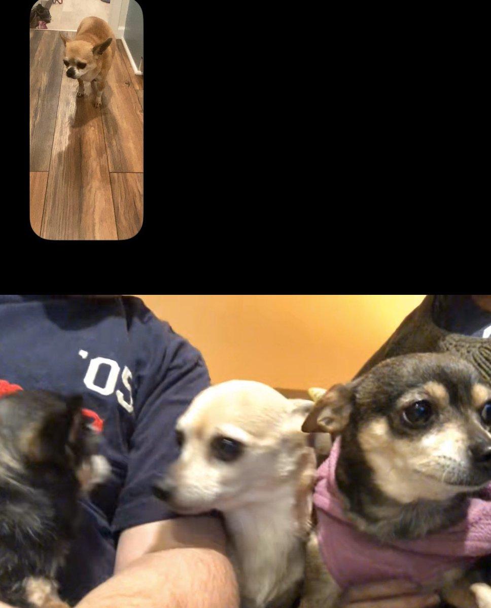 @kevharb @TessicaLynn and I had an epic Chihuahua FaceTime #QuarantineLife #chihuahua #rescuedogsofinstagram pic.twitter.com/VAlMHDVj8g
